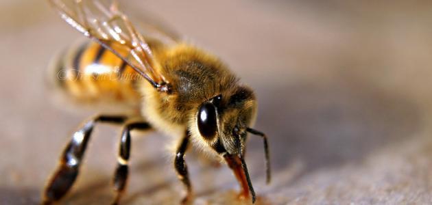 أهمية النحل