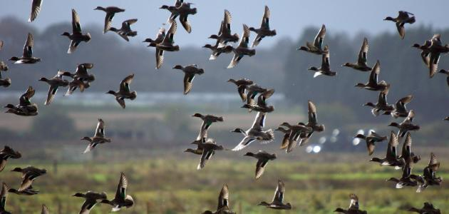 كيفية صيد الطيور