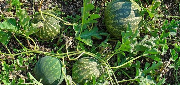 فوائد نبات الحنظل