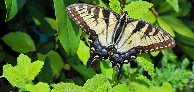دورة حياة الفراشة موضوع