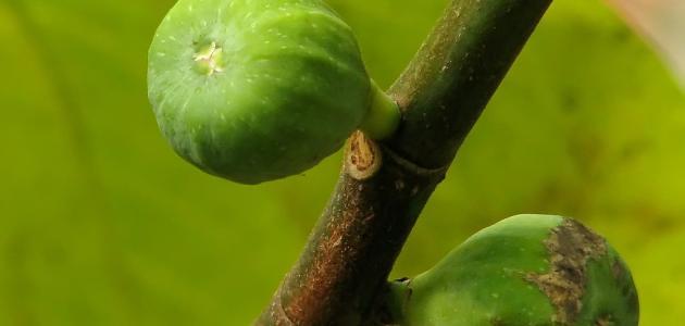 فوائد شجرة التين