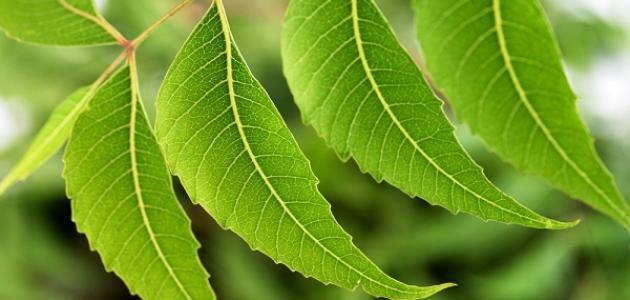 فوائد شجرة النيم للبشرة