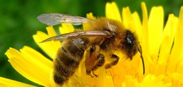 مراحل نمو النحلة