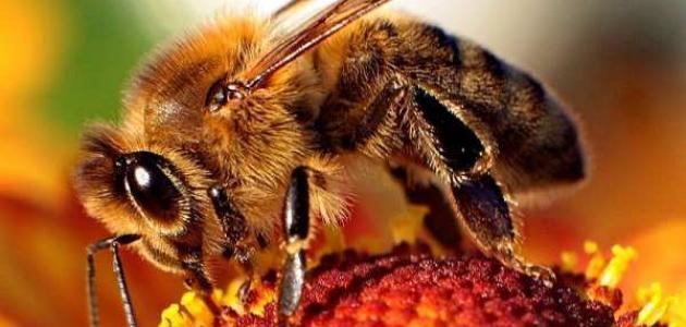 فوائد غذاء ملكات النحل للشعر