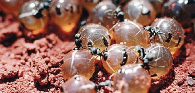 فوائد بيض النمل