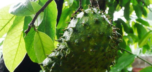 كيفية زراعة فاكهة القشطة