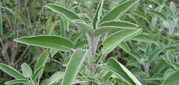 ماهي فوائد عشبة الميرمية