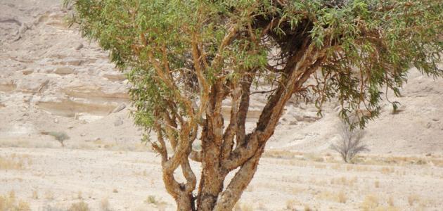 فوائد شجرة اللبان