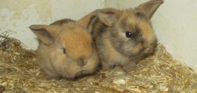 مراحل نمو الأرانب
