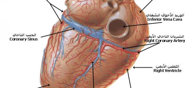أهمية القلب في جسم الإنسان