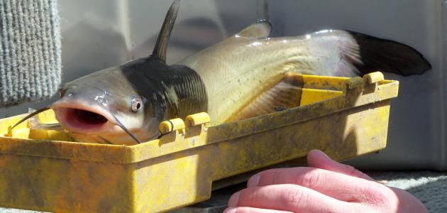 ما هي فوائد سمك الجري
