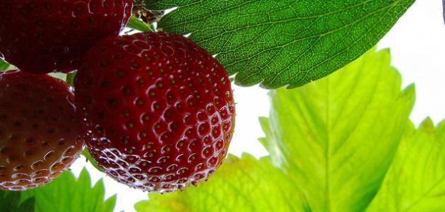 فوائد أوراق الفراولة