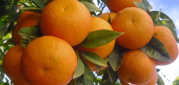 فوائد شجرة البرتقال