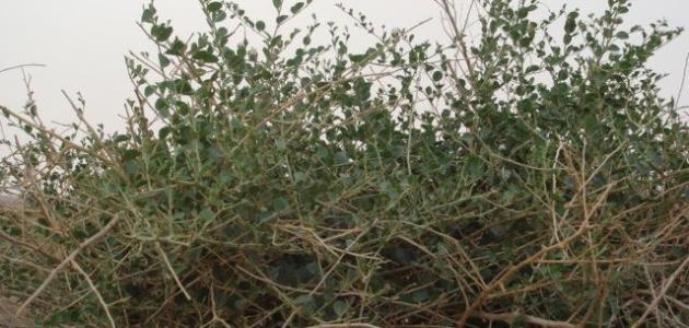 فوائد عشبة الروحب