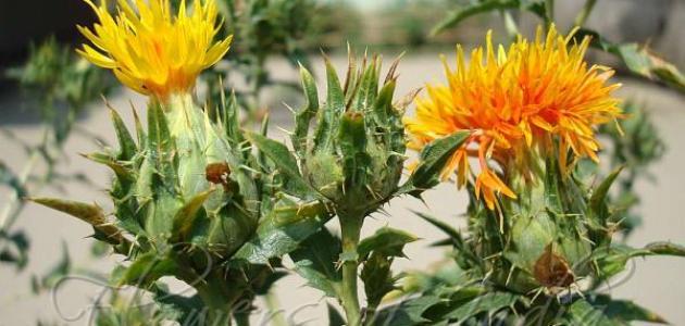 فوائد عشبة العصفر