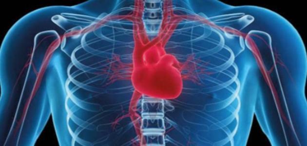 أين يوجد القلب فى جسم الإنسان