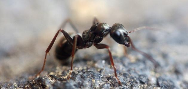 القضاء على النمل في البيت