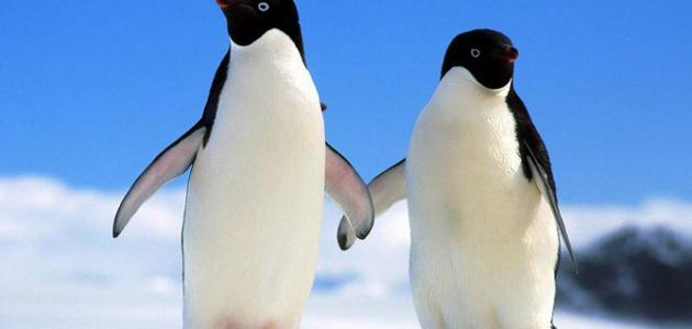 أين يعيش البطريق
