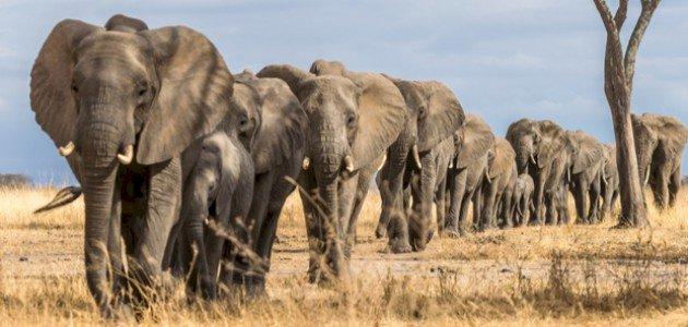 أين يعيش الفيل