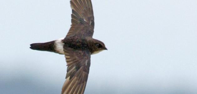 ما هو طير الأبابيل