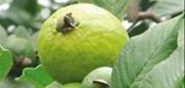 ما فوائد ورق الجوافة