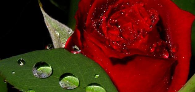 كيف نحافظ على الورد الطبيعي
