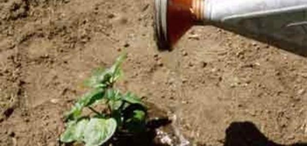 كيف أزرع النعناع