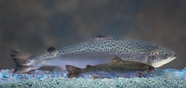 أين يعيش سمك السلمون