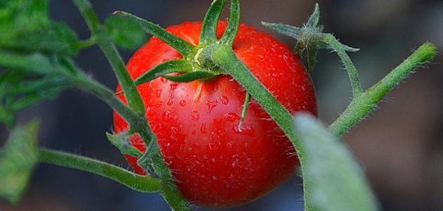 كيف أزرع الطماطم