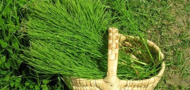 Image result for صور لعشب  ذنب الخيل