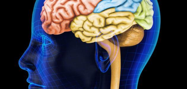 أين يوجد العقل في جسم الإنسان