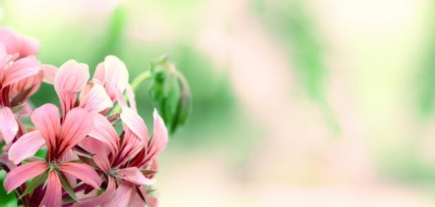 ما هو تصنيف النباتات الزهرية