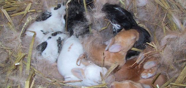 كيف يولد الأرنب