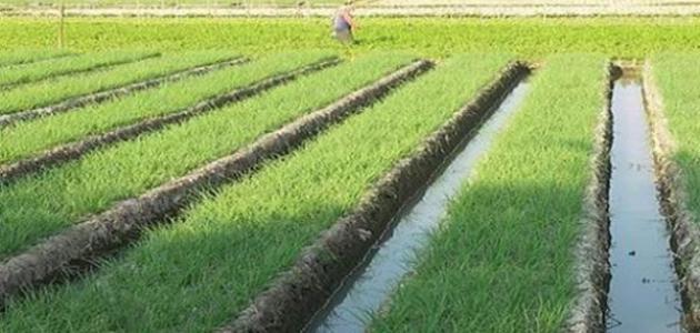 كيف يزرع الأرز