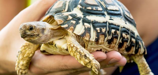 تربية السلاحف البرية