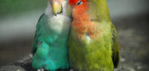 طيور الحب وتربيتها