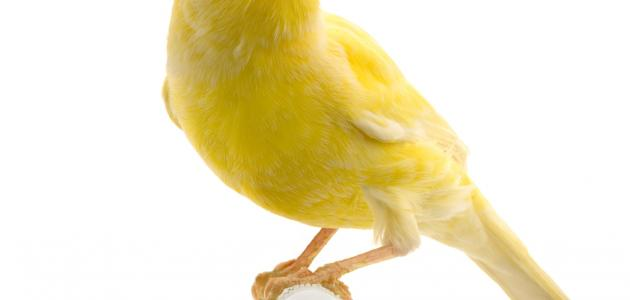 تربية عصافير الكناري