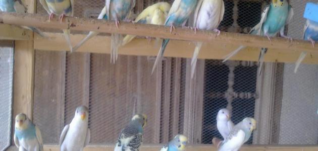كيف تربي طيور الحب
