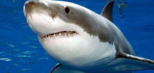 ويقول الباحثون إن عمر سمكة القرش العملاقة هذه يبلغ 50 عاما، نجحت خلالها في  تفادي العديد من مصادر التهديد البشرية، مثل الشباك ومصايد الاسماك المختلفة.