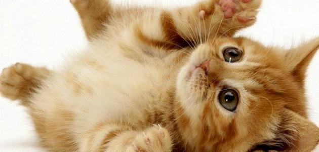 كيف تربي القطط الصغيرة