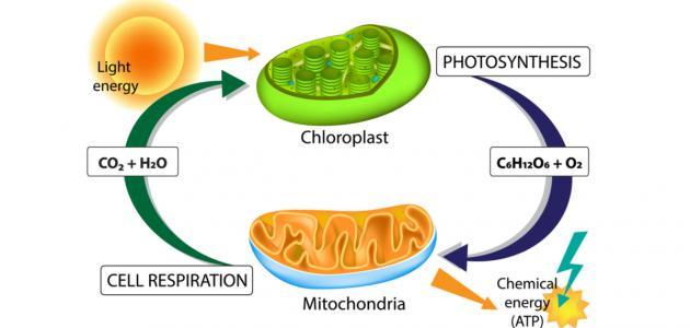 كيف تقوم الخلايا النباتية بصنع الغذاء