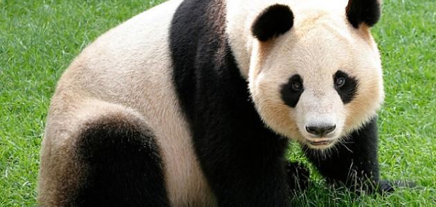 أين يعيش دب الباندا