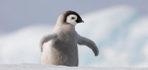 أين يعيش طائر البطريق