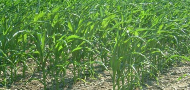 كيف تزرع الذرة