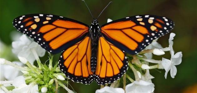إلى ماذا ترمز الفراشة