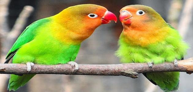 كيف أربي طيور الحب