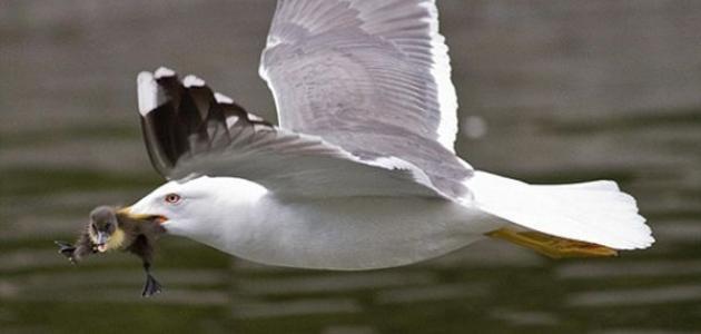 بحث عن طائر النورس