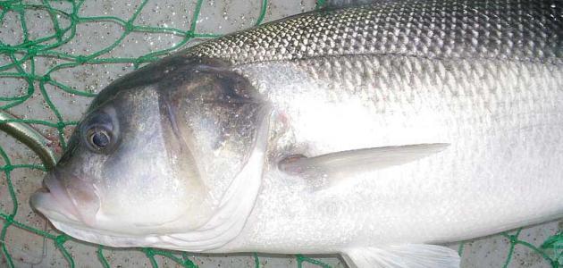 شكل سمك القاروص