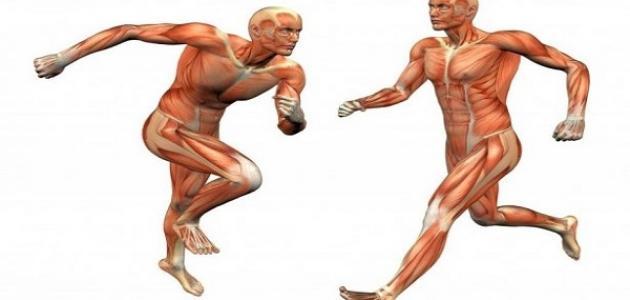 كيف تتحرك كل من العضلات والعظام والمفاصل