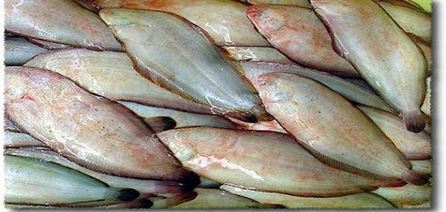 شكل سمك موسى